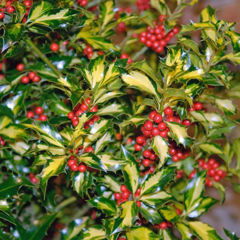 Gelbbunte Stechpalme (Ilex aquifolium 'Northern Lights')